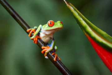 Agalychnis callidryas,tropical Red-eyed tree frog, non-toxic,colorful arboreal frog with red eyes and toes,vibrant green body and blue feets, sitting on diagonal twig against rainforest background