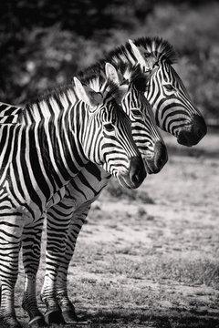 Three Zebra in a row. Black & White Safari Animals