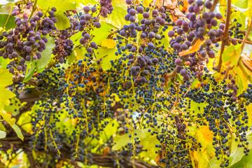 Wall Mural -  treille de raisins