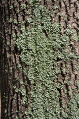 Texture of a brown bark of a tree with green moss and lichen, background