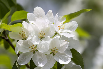 Branch of a blossoming Apple tree with white flowers