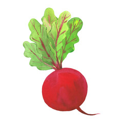 watercolor illustration of radish
