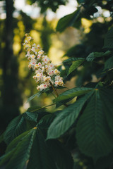 Flowering chestnuts in the sunlight