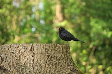 Spreewald, Amsel auf Baumstumpf