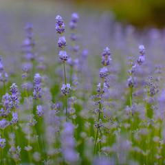 Bush of lavender flowers