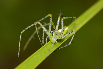 Image of Malagasy green lynx spider (Peucetia madagascariensis) on green leaf. Insect. Animal.