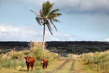 The Wider Image: Cut off by lava, pot growers refuse to let go dream