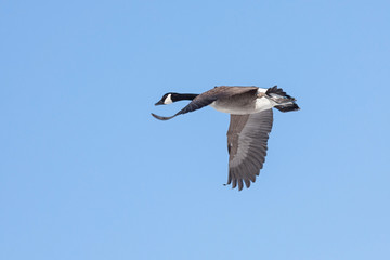 A Goose Flies in A Blue Sky