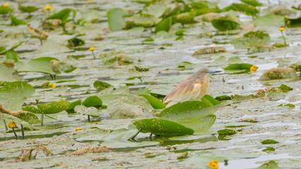 Sgarza ciuffetto semi nascosta tra le ninfee della palude