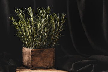 Rosemary in wooden por on dark background