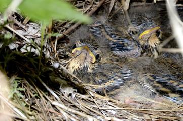 гнездо овсянки с птенцами