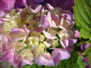 hydrangea Bush purple lilac bouquet