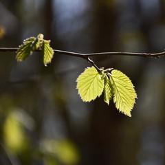Backlit Hazel leaves
