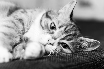 black and white portrait of a domestic cat