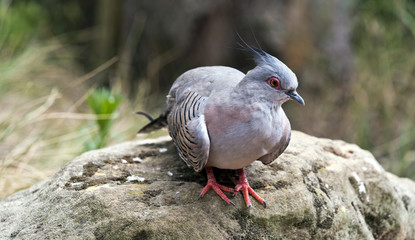 Portrait of crested pigeon