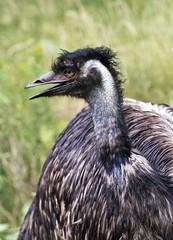 Portrait od emu