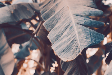 Horizontal background with banana leaves, toned image