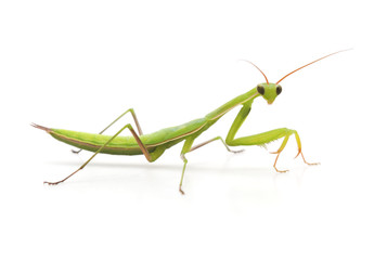 Large green mantis.