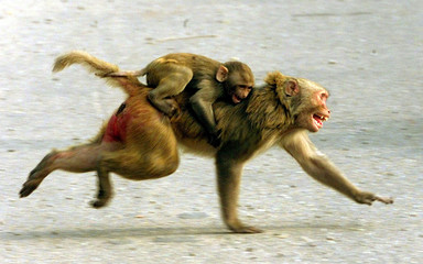 A MONKEY RUNS DOWN A STREET IN NEW DELHI.