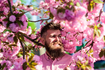 Hipster in pink shirt near branch of sakura. Man with beard and mustache on smiling face near flowers. Harmony with nature concept. Bearded man with stylish haircut with sakura flowers on background.