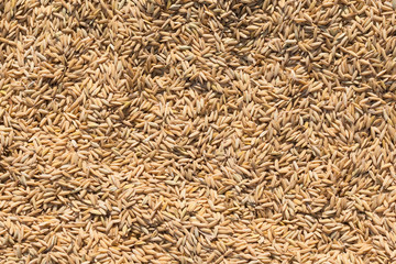 Textures of natural rice in sunlight on a dryer