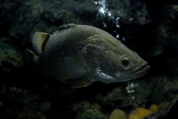 Fish : Barramundi (Lates calcarifer)