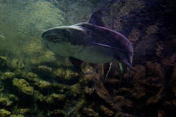 Fish : Chao Phraya giant catfish (Pangasius sanitwongsei)