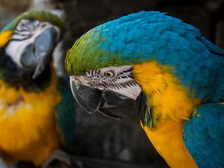 Zwei bunte Papageien - Aras