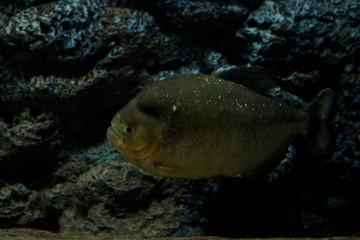 Fish : Red Piranha (Pygocentrus nattereri)