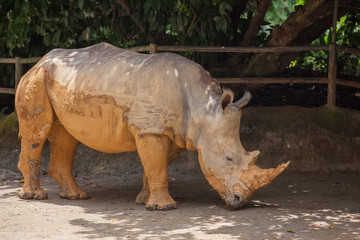 A white rhinoceros, rhino, (Ceratotherium simum) walking on sand in Singapore Zoo