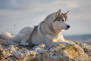 Pleased with a beautiful gray Siberian husky lies on a rock illuminated by the rays of the setting sun. A dog on a natural background.