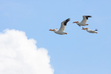 Three Pelicans Fly into a Cloud