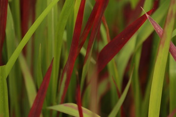 Red and green grass closeup