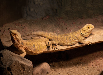bearded dragons mated pair
