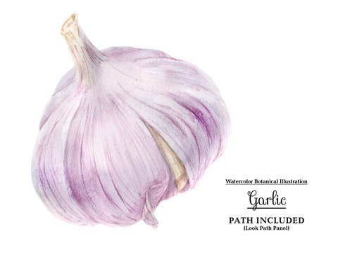 Watercolor garlic bulb