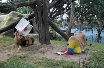 Lion Nene and Lioness Valentina are used at Medellin zoo in Colombia in an attempt to predict the result of the match