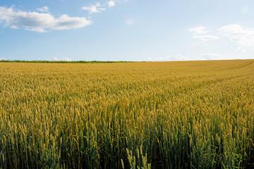 刈り取り前のムギ畑