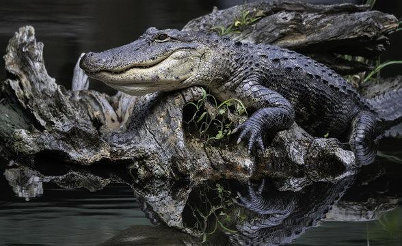 Posing Alligator