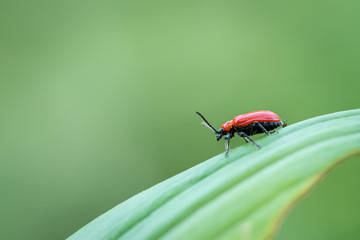 Scarlet lily beetle sitting on a green leaf
