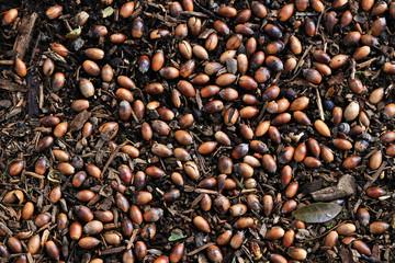 Acorn spreading on the ground like autumn texture