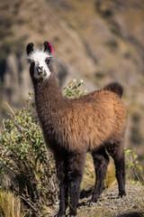 One single baby llama near Cochabamba
