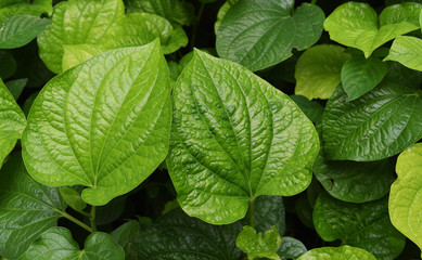 Group of green leaves that are food and medicinal plants , Piper sarmentosum or Leafus leaf in Thailand