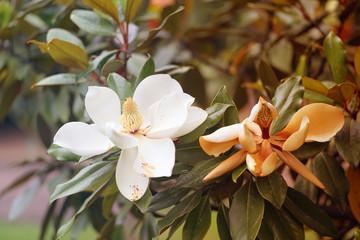 Photos of beautiful white magnolia flowers