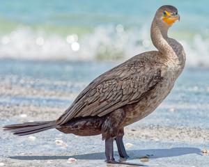 Cormorant standing on the beach