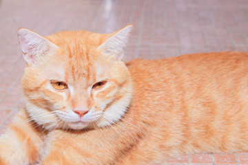 close up ginger cat relax beautiful and lovely On floor Orange tile mosaic