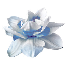 Flower white blue narcissus,  isolated on a white  background. Close-up. Element of design.