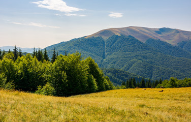 forest on a grassy meadow on top of a hill. beautiful summer landscape with high mountain in the distance