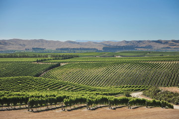 New Zealand. Vineyards of Marlborough