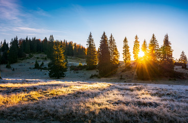 sunrise in the forests of Apuseni Natural Park. gorgeous autumn scenery among the spruce trees on the grassy hillside meadow in dew. beautiful landscape in mountains of Romania