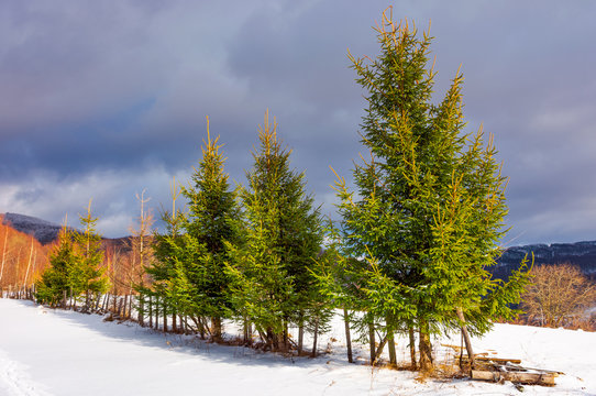 row of spruce trees on top of a hill in winter. beautiful scenery on a cloudy day in mountains